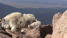 Mountain Goats in the High Country. Mountain goats in the Colorado high country stock footage