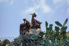 Mountain goats on a hike in the Anaga mountains on Tenerife Island Stock Photography