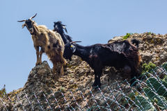 Mountain goats on a hike in the Anaga mountains on Tenerife Island Royalty Free Stock Photography