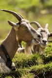 Mountain Goats with horns and cowbell - Italy. Two mountain goat with horns and cowbell on a green meadow, Italian Alps stock photography