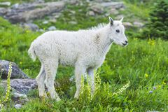 Free Mountain Goats  In Green Grass Field, Glacier National Park, Montana Stock Photo - 182703310