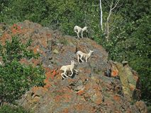 Mountain Goats on Lichen Covered Rocks Royalty Free Stock Images