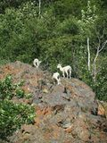 Mountain Goats on Lichen Covered Rocks Stock Photo