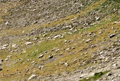 Mountain goats living on an alpine slope. In North Cascade mountains Royalty Free Stock Image