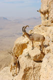 Mountain goats in the Makhtesh Ramon Royalty Free Stock Images