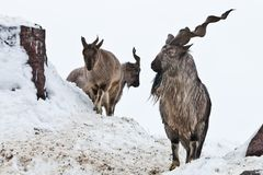Mountain goats Markhor among the snow and rocky ledges against the white sky stock images