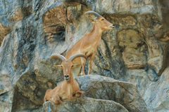 The mountain goats,The mountain goats in the zoo thailand. Royalty Free Stock Images