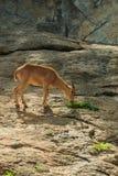 The mountain goats,The mountain goats in the zoo thailand. Stock Photo