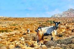 Mountain goats in the mountains. The mountain goats in the mountains royalty free stock photography