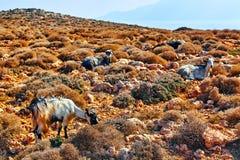 Mountain goats in the mountains. The mountain goats in the mountains royalty free stock images