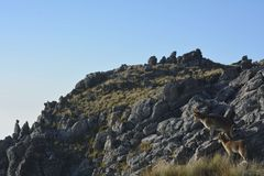 Mountain goats in the mountains Stock Photo