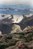 Mountain goats mt Evans 1. Father & son mountain goats resting near edge of cliff Royalty Free Stock Photos