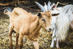 Mountain goats in natural environment on a pasture. Royalty Free Stock Photo