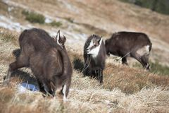 Mountain goats in natural habitat Royalty Free Stock Photos