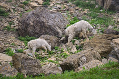 Mountain Goats Stock Images