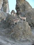 Mountain goats - near Tilicho base camp, Nepal Royalty Free Stock Photo