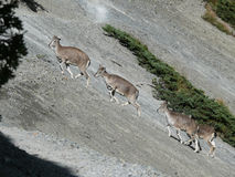 Mountain goats - near Tilicho base camp, Nepal Royalty Free Stock Images