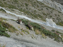Mountain goats - near Tilicho base camp, Nepal Royalty Free Stock Image