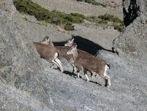 Mountain goats - near Tilicho base camp, Nepal Royalty Free Stock Photos