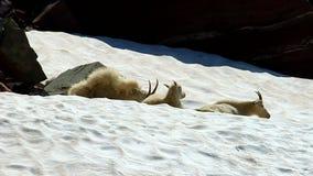 Mountain Goats (Oreamnos americanus) stock video footage