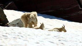 Mountain Goats (Oreamnos americanus) stock video footage