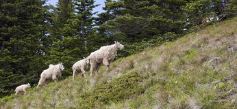 Mountain Goats (Oreamnos americanus) Royalty Free Stock Photo