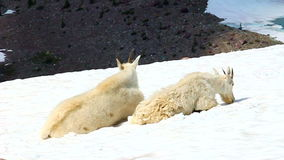 Mountain Goats (Oreamnos americanus). Sit on snow near the Sperry Glacier of Glacier National Park in Montana stock video footage