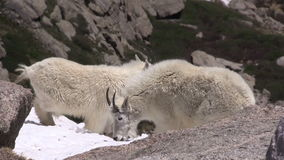 Mountain goats. A pair of mountain goats  in the high country stock video