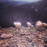 Mountain Goats. Quandary rocks rocky mountains colorado Stock Image