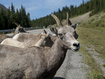 Mountain Goats on the Road. In Alberta Rocky Mountains Royalty Free Stock Images