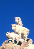Mountain Goats on Rock. Three young mountain goats on rocks with blue sky Royalty Free Stock Photo