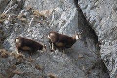 Mountain goats on the rocks Royalty Free Stock Photo