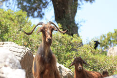 Mountain-goats Royalty Free Stock Photos