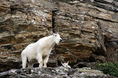 Mountain goats on rocky cliff Stock Image