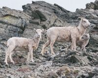 Mountain goats on rocky slope Stock Images