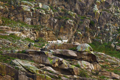 Mountain goats on slope. Altai Russia royalty free stock photography