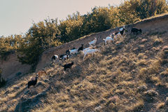Mountain goats. On the mountain during sunset Royalty Free Stock Photos
