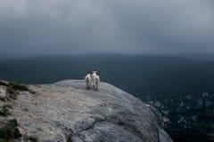 Mountain goats on top of mountain stock image