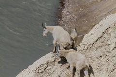 Mountain goats on top of a cliff Stock Photo