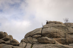 Mountain goats at the top of the mountain. Royalty Free Stock Photography