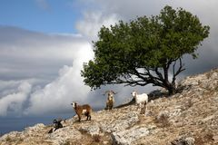 Mountain goats with a tree on the mountain royalty free stock image