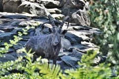 Mountain goats Royalty Free Stock Photography