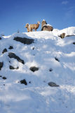 Mountain goats during winter Stock Photography