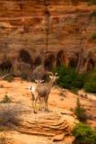 Mountain Goats Stock Photography