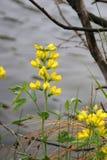 Mountain golden pea stock photos