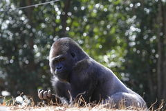 Mountain gorilla. Has a breakfast royalty free stock photography