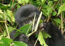 Mountain gorilla Stock Image