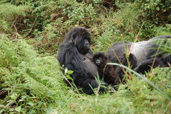 Mountain Gorilla with baby Stock Photography