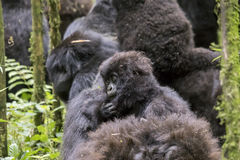 Mountain gorilla baby in Volcanoes National Park, Virunga, Rwand. Baby mountain gorilla riding on back of female in bamboo forest of Volcanoes National Park Royalty Free Stock Photos