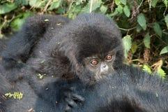 Mountain Gorilla, berggorilla, Gorilla beringei stock photos